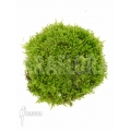 Vesicularia dubyana 'Java moss' shell