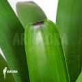 Bromeliad 'Vriesea bituminosa'