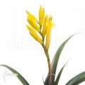 Bromeliad 'Vriesea bleheri'