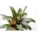 Bromeliad 'Vriesea botafogensis'