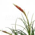 Bromeliad 'Vriesea correia araujoi'