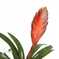 Bromeliad 'Vriesea duvaliana'