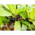 Bromeliad 'Vriesea erythrodactylon'