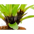 Bromeliad 'Vriesea erythrodactylon' starter