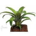 Bromeliad 'Vriesea fenestralis'