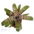 Bromeliad 'Vriesea fosteriana'