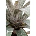 Bromeliad 'Vriesea fosteriana var seideliana'