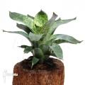 Bromeliad 'Vriesea gigantea' (L)