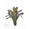 Bromeliad 'Vriesea hieroglyphica' 'Starter'