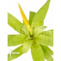 Bromeliad 'Vriesea ospinae' 'Starter'