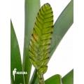 Bromeliad 'Vriesea platynema'