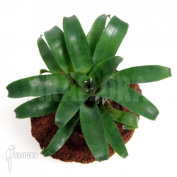 Vriesea racinae