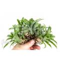 Bromeliad 'Vriesea racinae' '5-deal (5x)'