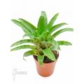 Bromeliad 'Vriesea racinae' starter