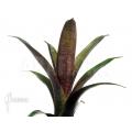 Bromeliad 'Vriesea seideliana'