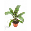 Bromeliad 'Vriesea splendens' starter