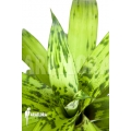 Bromeliad 'Vriesea striped 'nr 08130''