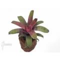 Bromeliad 'Vriesea x red chestnut'