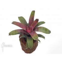 Vriesea x red chestnut