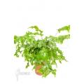 xPhlebosia Nicolas Diamond (Phlebodium x Pyrrosia)