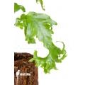 xPhlebosia Nicolas Diamond (Phlebodium x Pyrrosia) 'Starter'