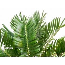 Zamia floridiana