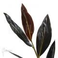 Black ginger 'zingiber malaysiana'