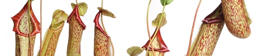Nepenthes (Tropical pitcher plants)