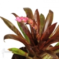 Bromeliads for terrarium