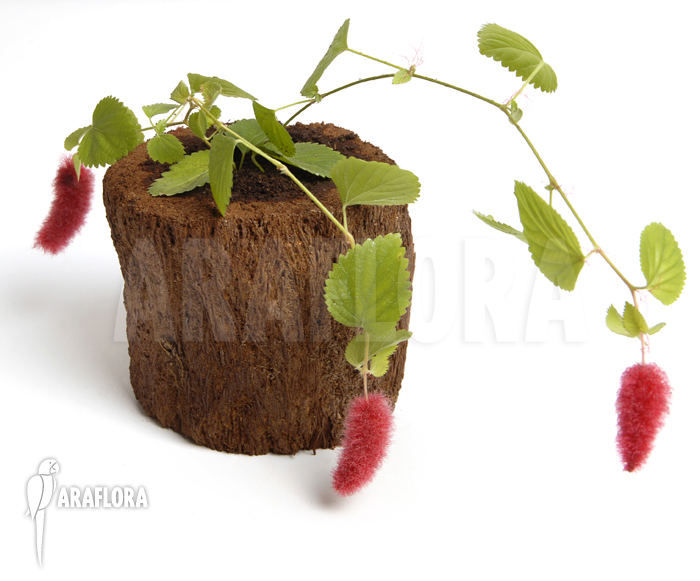 ARAFLORA Exotic plant sale for example Acalypha hispida