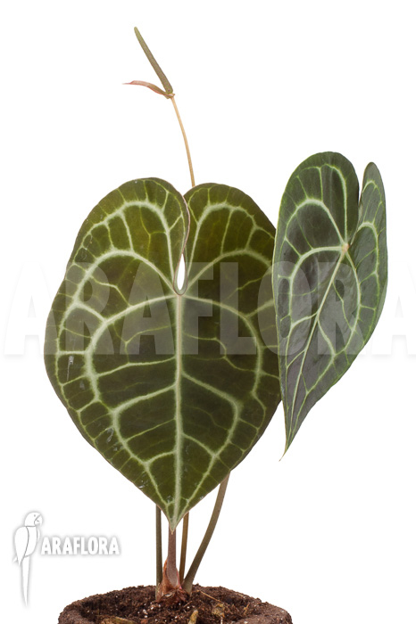 Araflora Exotic Flora More Anthurium Clarinervium Xl