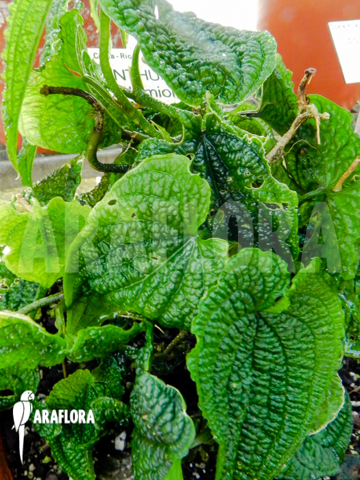 Araflora exotic flora more anthurium clidemioides - Anthurium turenza ...