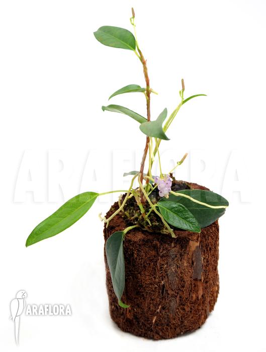 Araflora exotic flora more anthurium scandens var pumila - Anthurium turenza ...