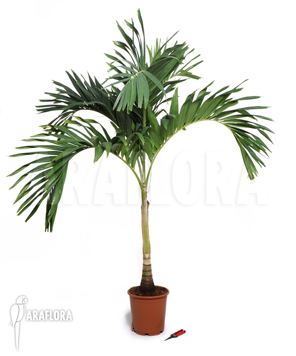 Araflora exotic flora more betelpalm 39 areca catechu 39 xl 39 - Real areca palm ...