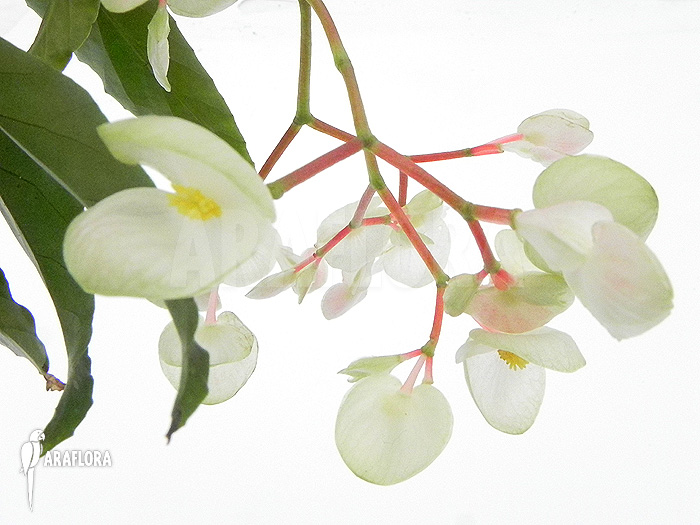 Araflora exotic flora more begonia x tamaya big white flowers begonia x tamaya big white flowers mightylinksfo Images