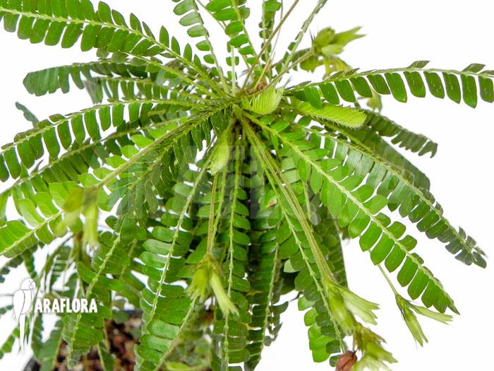 Araflora Exotic Flora Amp More Biophytum Sensitivum Xl
