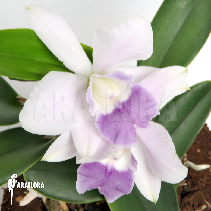 White Cattleya Orchids Cattleya x White Blue