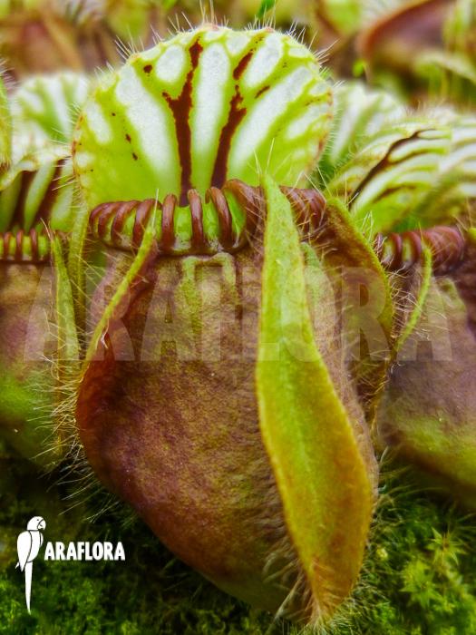 cephalotus follicularis giants myth or reality