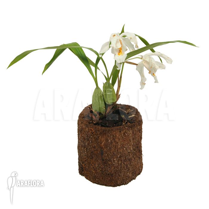 Coelogyne Cristata Orchidee Coelogyne Cristata