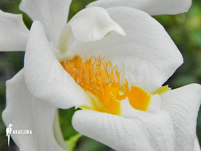 how to grow coelogyne orchid