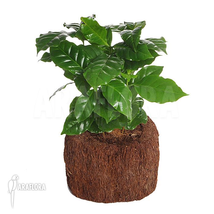 Araflora exotic flora more coffee plant 39 coffea for Coffea arabica