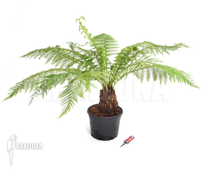 araflora exotic flora more tasmanian tree fern 39 dicksonia antarctica 39 m. Black Bedroom Furniture Sets. Home Design Ideas