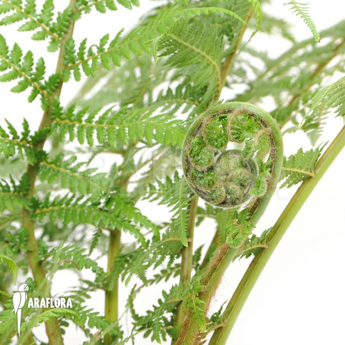 Dicksonia Antarctica Leaf Dicksonia Antarctica M)c