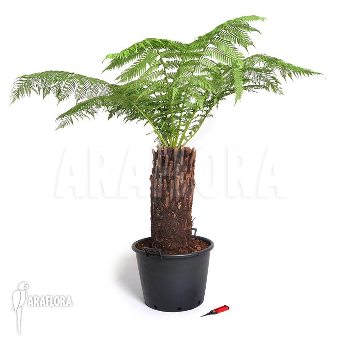 araflora exotic flora more tasmanian tree fern 39 dicksonia antarctica 39 xl. Black Bedroom Furniture Sets. Home Design Ideas