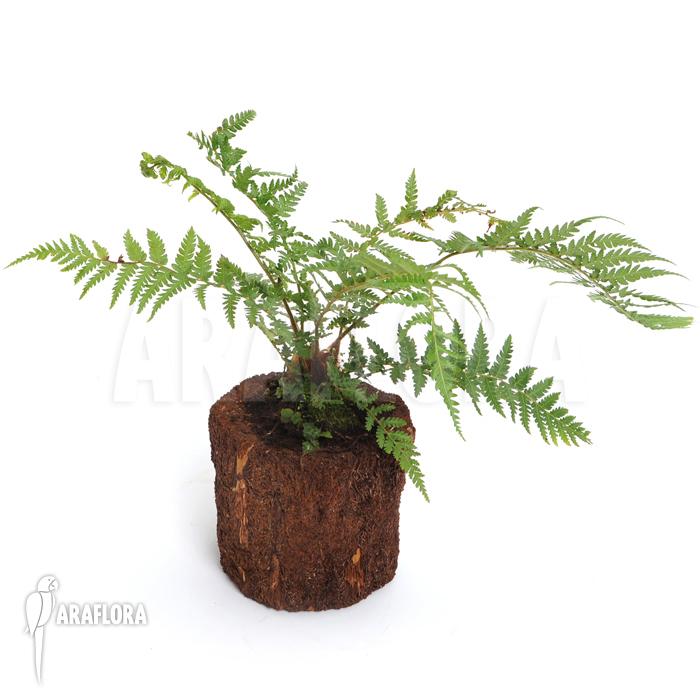 araflora exotic flora more tasmanian tree fern 39 dicksonia antarctica 39 xs. Black Bedroom Furniture Sets. Home Design Ideas