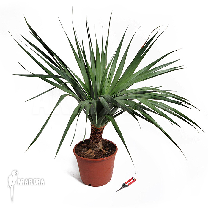 araflora exotic flora more canary islands dragon tree. Black Bedroom Furniture Sets. Home Design Ideas