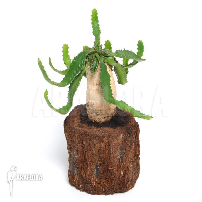 Araflora vente plantes exotiques Maxillaria tenuifolia