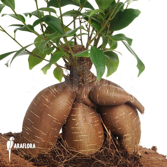 Araflora, exotic flora & more - Curtain Fig Ficus microcarpa (M)