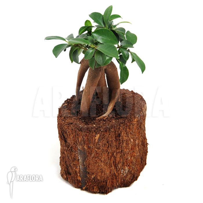 araflora exotic flora more curtain fig ficus microcarpa s. Black Bedroom Furniture Sets. Home Design Ideas