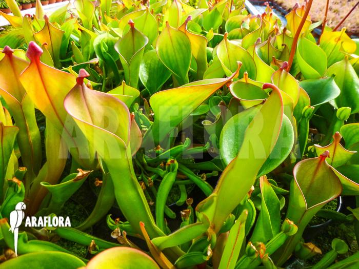 Adult Plants 87